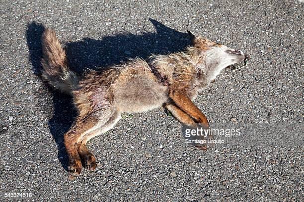 Dead fox on a road
