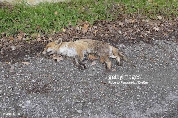 dead fox on the side of the road - fuchspfote stock-fotos und bilder