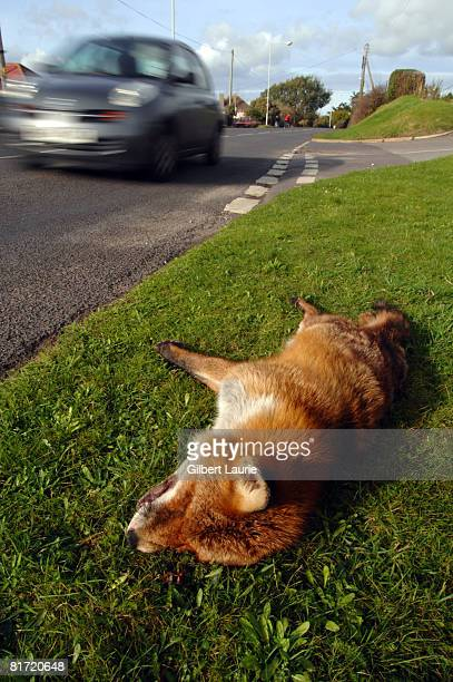Dead fox on the verge of a road with blurred traffic passing