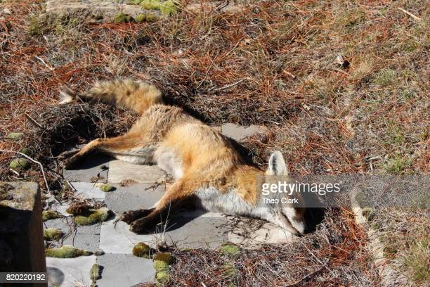 dead fox - roadkill stock photos and pictures
