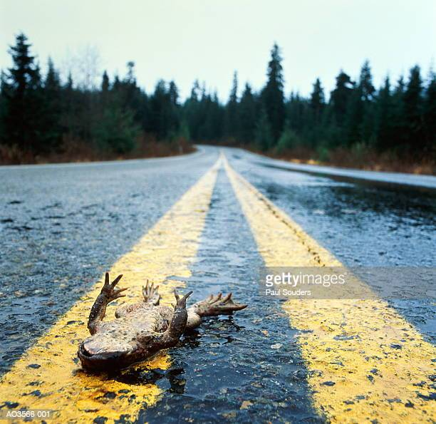 dead frog lying in middle of country road, washington, usa - roadkill stock photos and pictures