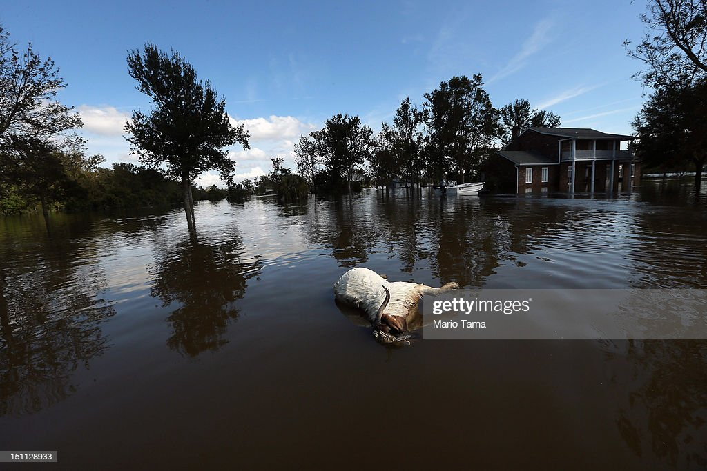 A dead goat floats in Hurricane Isaac's flood waters on September 1, 2012 in Braithwaite, Louisiana. Louisiana residents continue to cope with the aftermath of Hurricane Isaac with ongoing flooding, destroyed property and many still without electricity.
