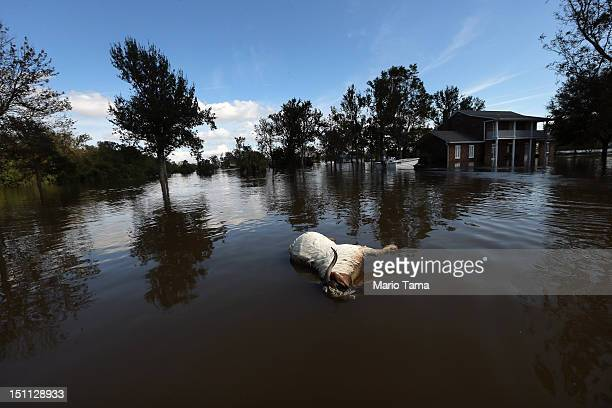 A dead goat floats in Hurricane Isaac's flood waters on September 1 2012 in Braithwaite Louisiana Louisiana residents continue to cope with the...
