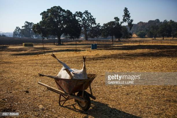 A dead goat is seen resting in a wheelbarrow off Winchester Street after the Clayton Fire burned through Lower Lake California on August 16 2016 A...