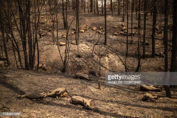 Dead goats lay down in a forest following a wildfire near Kerasia Village on Evia island, the second-largest Greek island, on August 11 2021. -...
