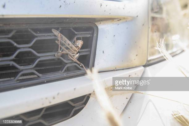 A dead grasshopper is seen on the front of a car in north west New South Wales on May 05 2020 in Dungowan Australia Recent rain across the region has...
