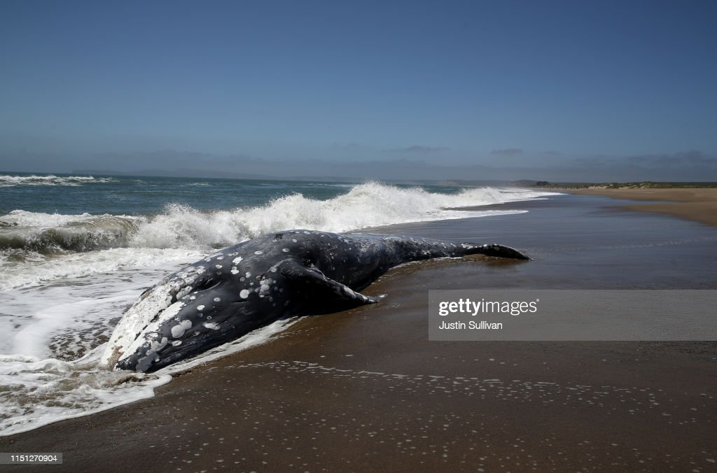 CA: Another Dead Whale Washes Ashore In The San Francisco Bay Area