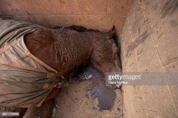 A dead horse is seen in a stall at Rancho Padilla where 29 horses and numerous other animals were killed in the Creek Fire on December 6 2017 near...