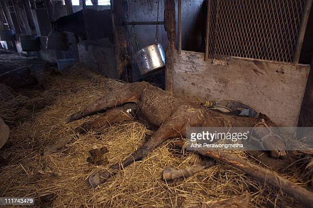 A dead horse lies on the ground within the exclusion zone about 12 miles away from Fukushima Nuclear Power Plant on April 6 2011 in Odaka Town...
