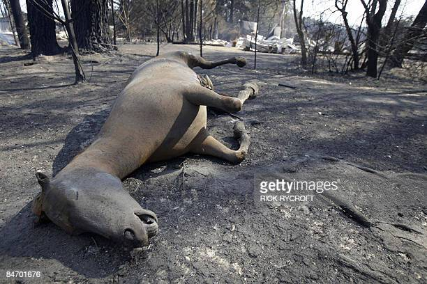 A dead horse that was trapped by raging fires lies at the side of the road near the community of Kinglake northeast of Melbourne on February 9 2009...