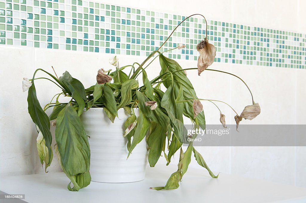 Dead house plant spathiphyllum - Peace Lily : Stock Photo
