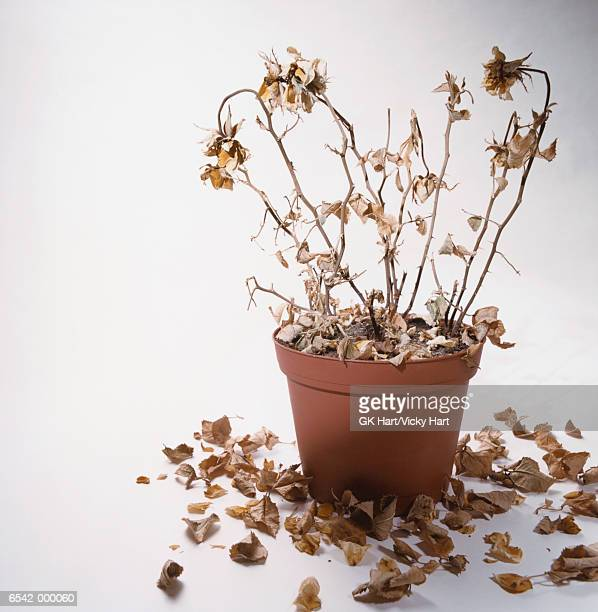 dead houseplant - dead plant stock pictures, royalty-free photos & images