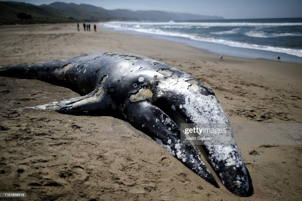 CA: Scientists Examine 13th Dead Whale To Wash Up In Bay Area In 2019