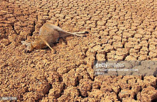 dead kangaroo during drought in australia - drought stock pictures, royalty-free photos & images
