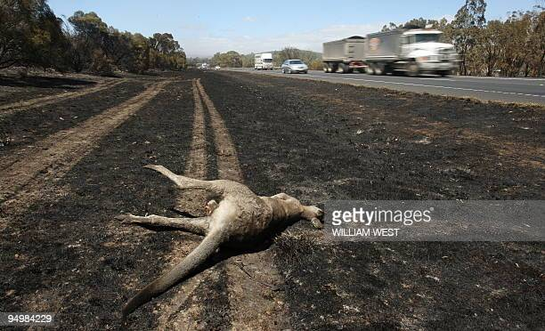 A dead kangaroo lies beside a burntout section of the Hume Highway near Seymour some 100 kilometres north of Melbourne on February 9 2009 as raging...