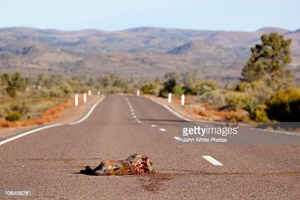 Dead kangaroo on the road