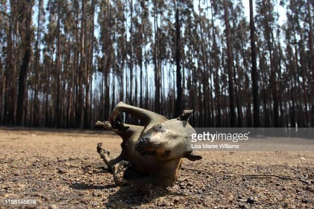 A dead koala is seen amongst Blue Gum trees in the bushfire ravaged outskirts of the Parndana region on January 08 2020 on Kangaroo Island Australia...