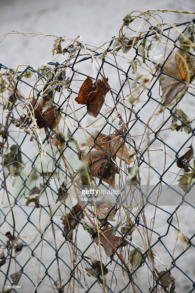 Dead Leaves On Wire Fence Stock Photo | Getty Images