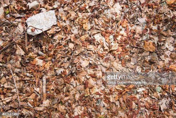 dead leaves, stones, branches and lichens on the ground of beech forest - leon boden stock-fotos und bilder
