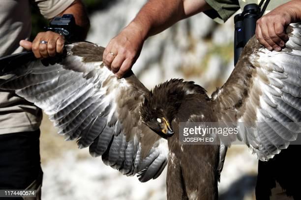 A dead Lesser Spotted eagle is displayed by activists from the Committee Against Bird Slaughter at their birds observation camp in the village of...