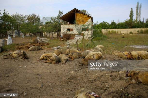 Dead livestock lies on the ground after fighting over the breakaway region of Nagorno-Karabakh in the Tartar border district of Azerbaijan September...