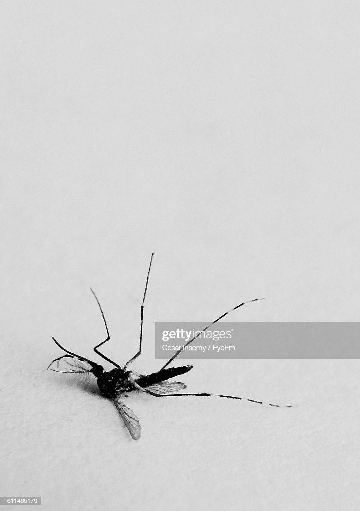 Dead Mosquito On White Background : Stock Photo
