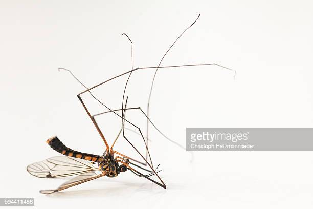 dead mosquito - dead animal stock pictures, royalty-free photos & images