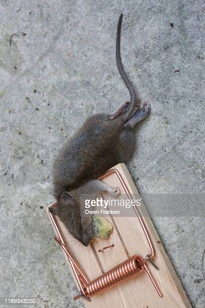 dead mouse in a mouse trap - image stock pictures, royalty-free photos & images