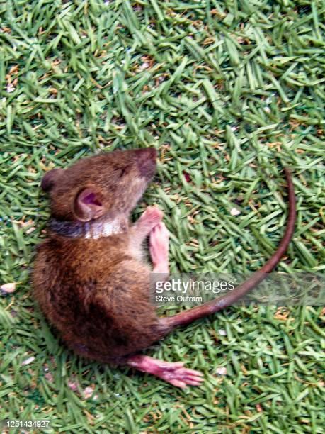 dead mouse on grass, crete, greece. - dead body - fotografias e filmes do acervo
