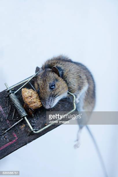 Dead mouse on trap