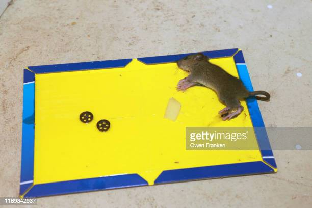 dead mouse stuck to a mouse-catching sticky paper - image stock pictures, royalty-free photos & images