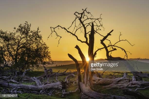 dead oaks, san benito county, california - don smith stockfoto's en -beelden