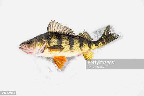 Dead perch fish on ice in Adirondack Mountains