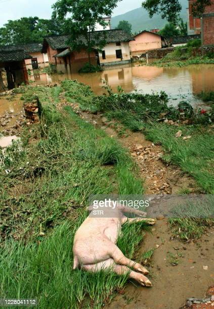 A dead pig lies along a trail after floodwaters recede near the town of Dayu east China's Jiangxi province on July 4 2009 Chinese Premier Wen Jiabao...