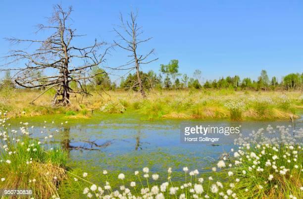 Dead pines (Pinus sylvestris) and tussock cottongrass (Eriophorum vaginatum) in wet bog with peat moss (Sphagum sp.), Grundbeckenmoor, Nicklheim, alpine upland, Bavaria, Germany