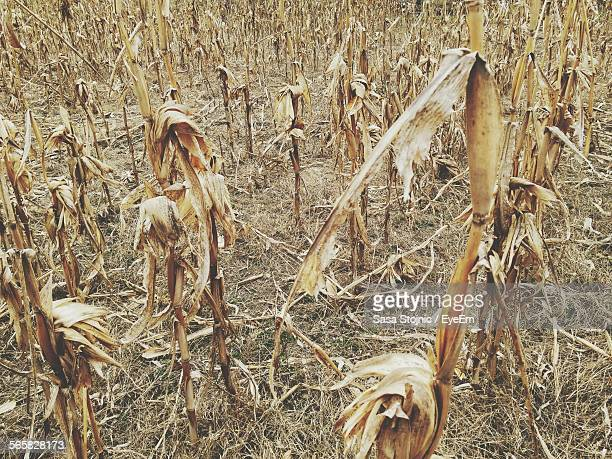 Dead Plants In Field