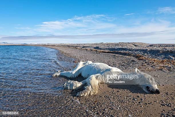 dead polar bear, svalbard, norway - polarklima stock-fotos und bilder
