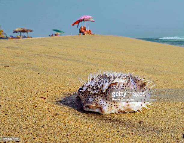 dead porcupinefish washed up on beach, escondido, california, usa - escondido california stock photos and pictures