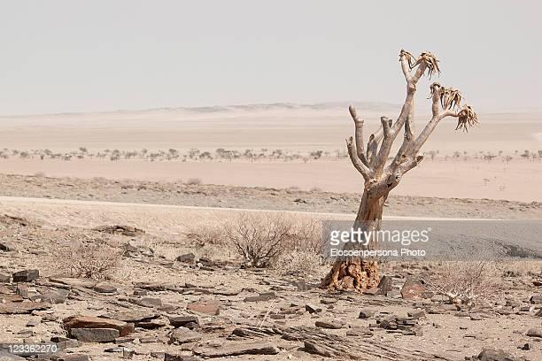 dead quiver tree in namibia - köcherbaum stock-fotos und bilder