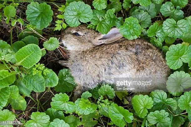 Dead rabbit lying in verge UK