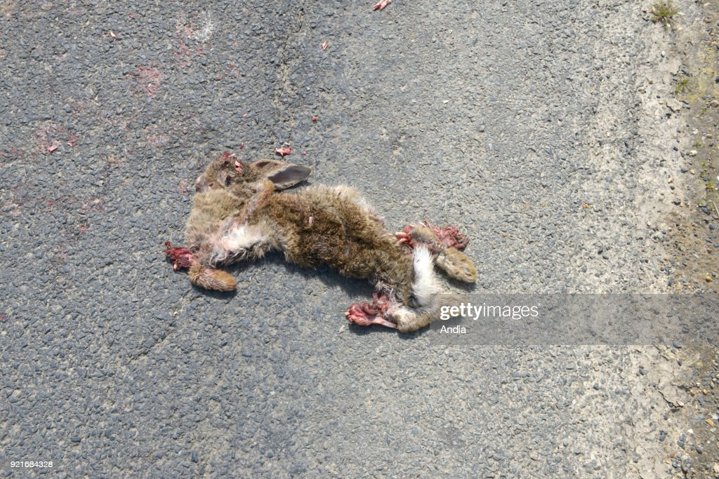 Dead rabbit on a road. : News Photo
