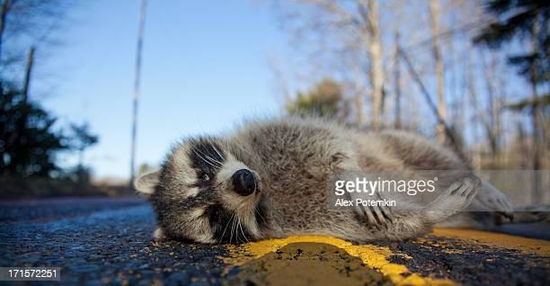 Dead racoon getötet mit dem Auto auf die forest road