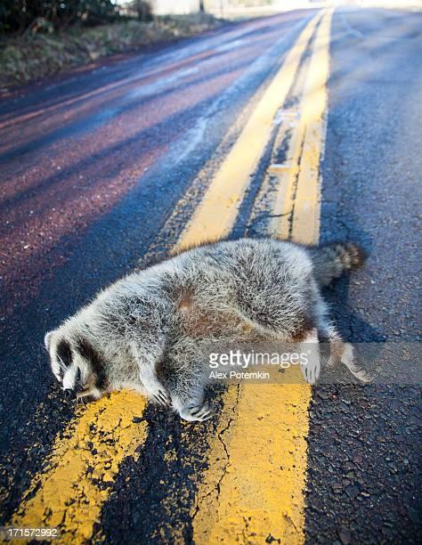 Dead racoon tués en voiture sur la route forestière