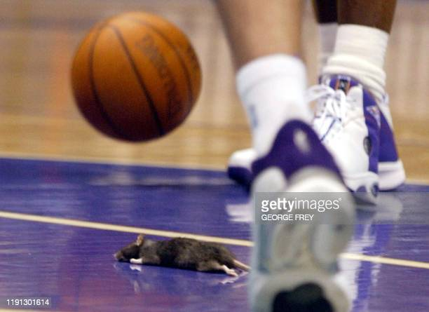 A dead rat lays on the floor in front of the free throw line after it fell from the roof of the Delta Center during the second quarter of a Utah Jazz...