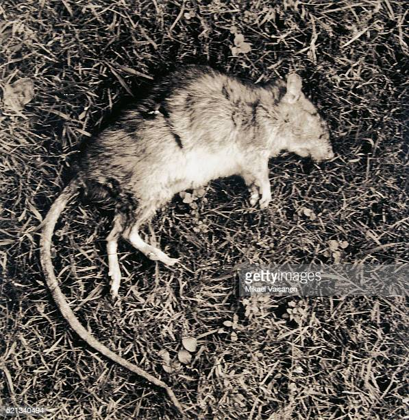 dead rat - hantavirus stock pictures, royalty-free photos & images