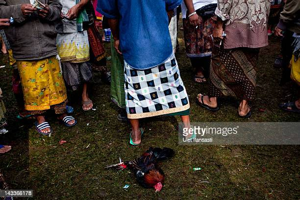 A dead rooster lies on the ground after losing a fight during the sacred 'Aci Keburan' ritual at Nyang Api Temple on February 12 2012 in Gianyar Bali...