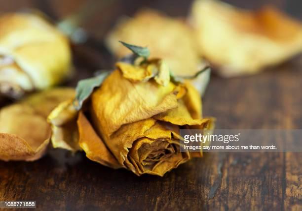 a dead rose over a wood board. still life. - dead rotten fotografías e imágenes de stock