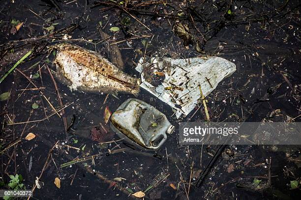 Dead rotten fish floating among rubbish and nondegradable waste in water of canal