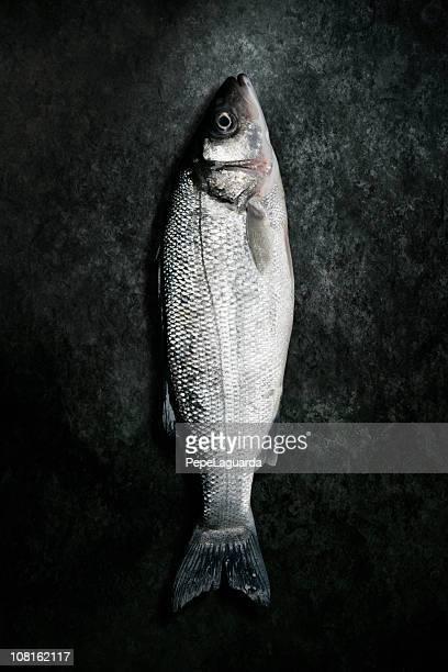 Dead Sea Bass Fish Lying on Grunge Background