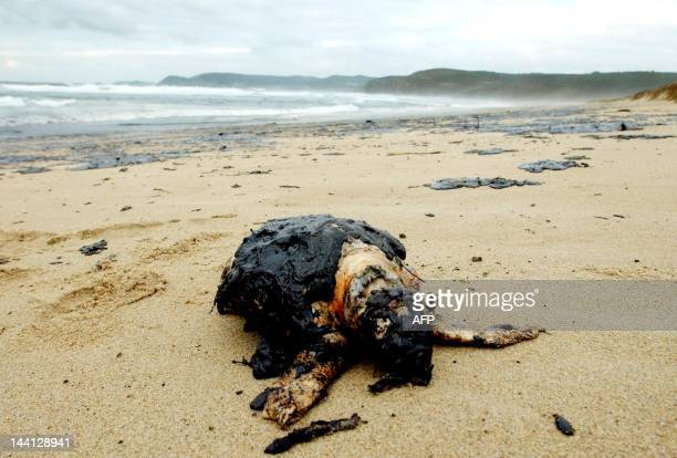 A dead sea turtle lays covered in oil on Rostro beach 02 December 2002 after the coastline was hit 01 December by a second oil slick from the sunken...